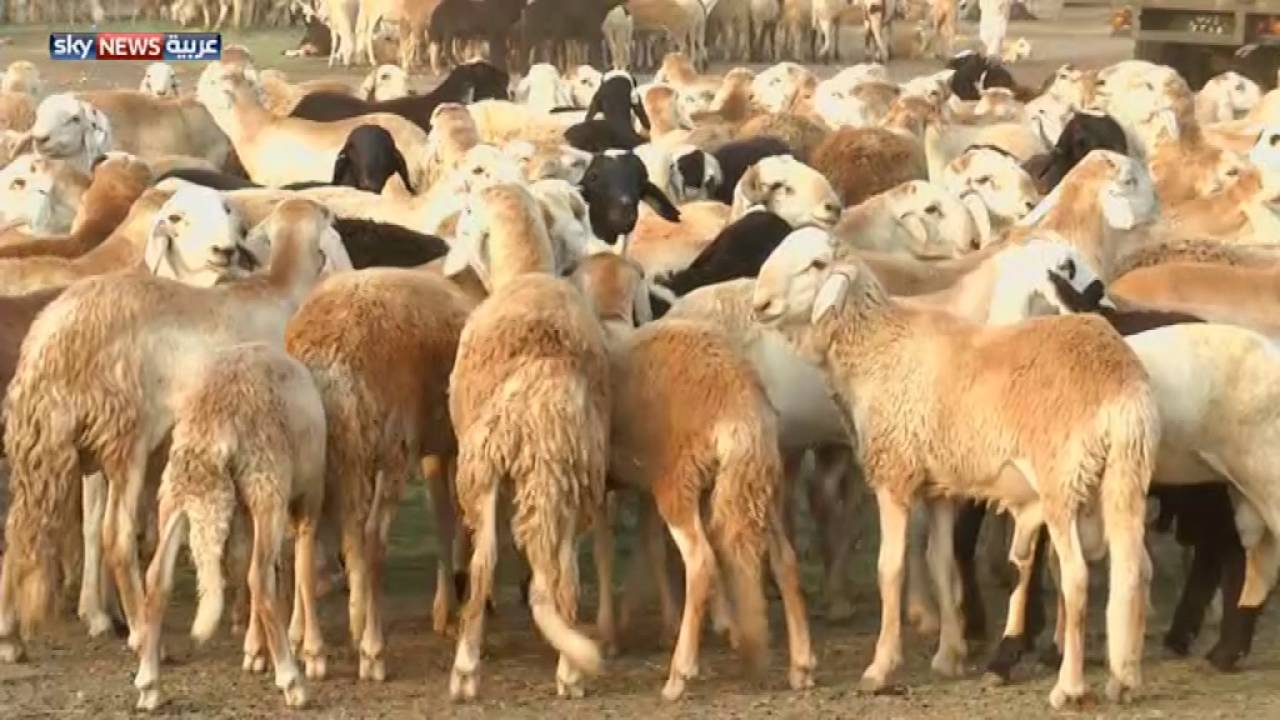 تصدير أكثر من (175) ألف رأس ضأن إلى السعودية