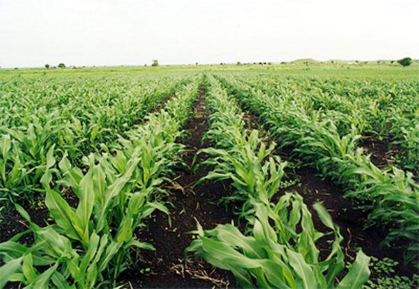 ولاية النيل الأبيض تستعد لزراعة أكثر من (3) ملايين فدان من المحاصيل