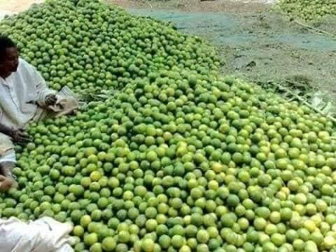 """شاهد بالصور: السودانيون يحتفون بانتاج """"جبال من الليمون"""""""