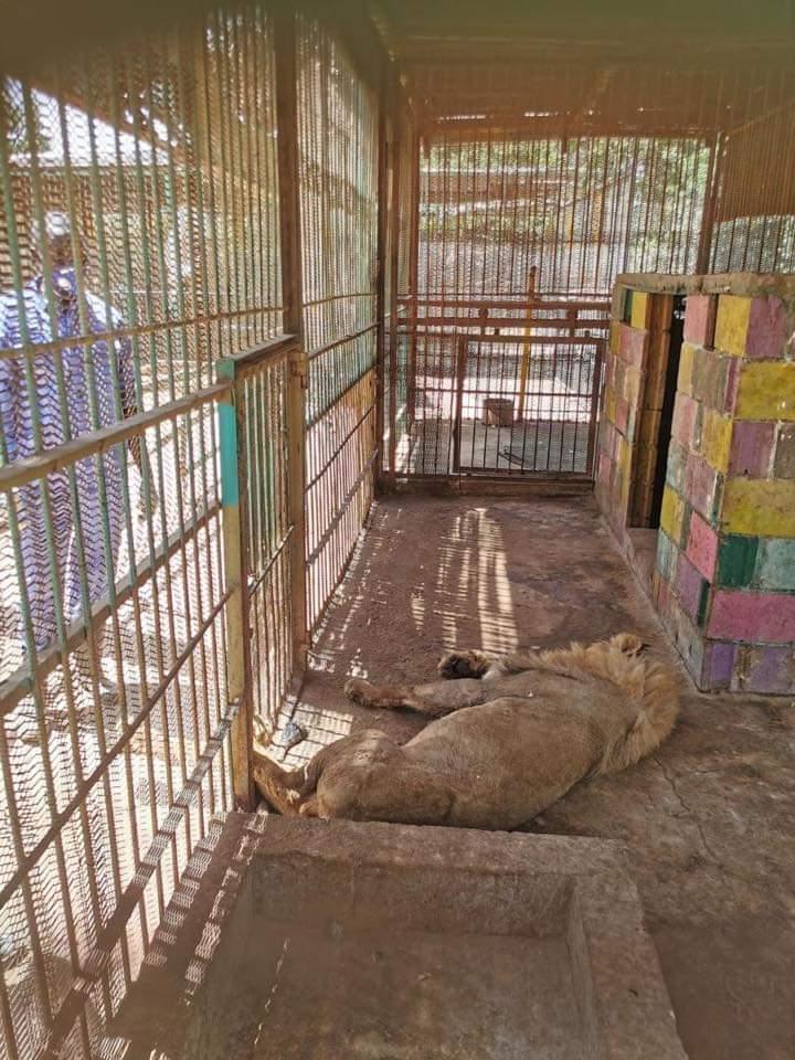 موت الأسد( سايمون) بحديقة القرشي صباح أمس الجمعة