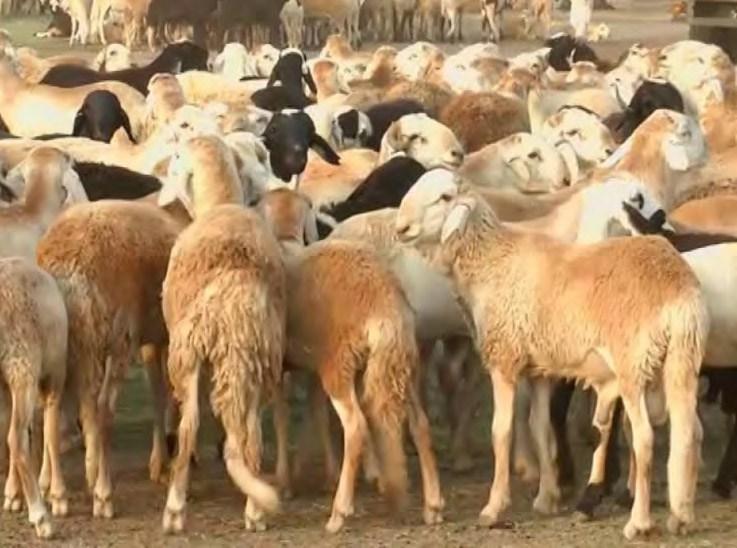 مع وجود تجاوزات وتلاعبات بالمحاجر..نفوق الآلاف من صادر الماشية