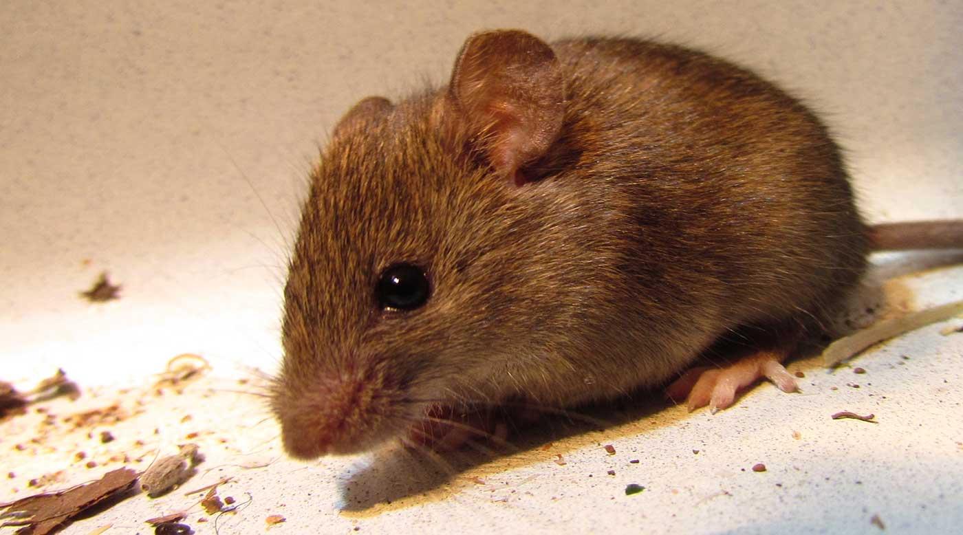 بعد كورونا الخفافيش.. الصين تتعرض لوباء شرس بسبب الفئران