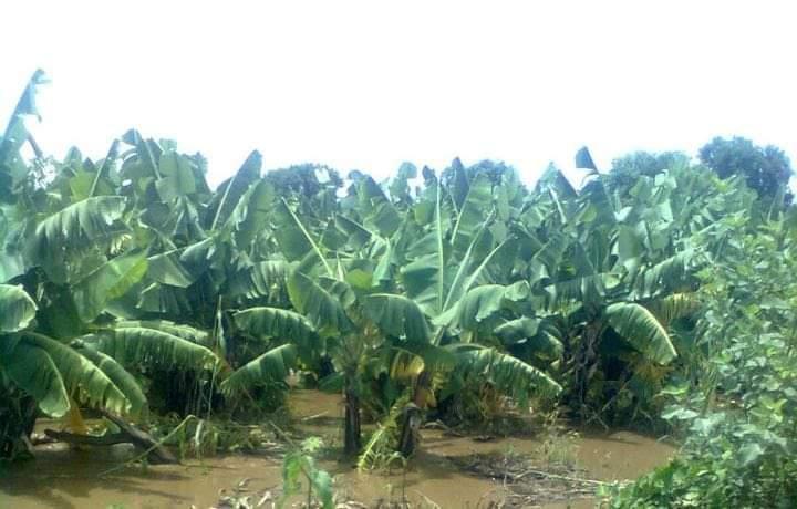 قريبا.. انعدام سلعة الموز والسبب (…)